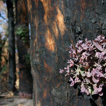 Gum tree regrowth after bushfire.